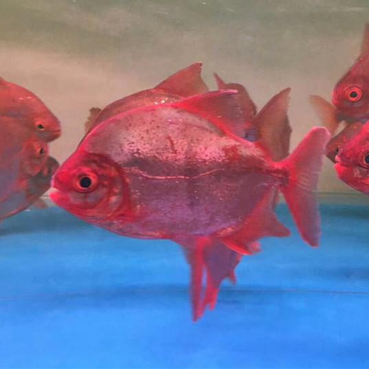 潍坊玫瑰银版鱼